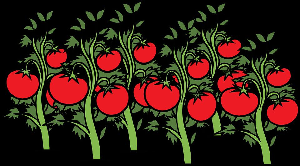 tomato-308855_960_720